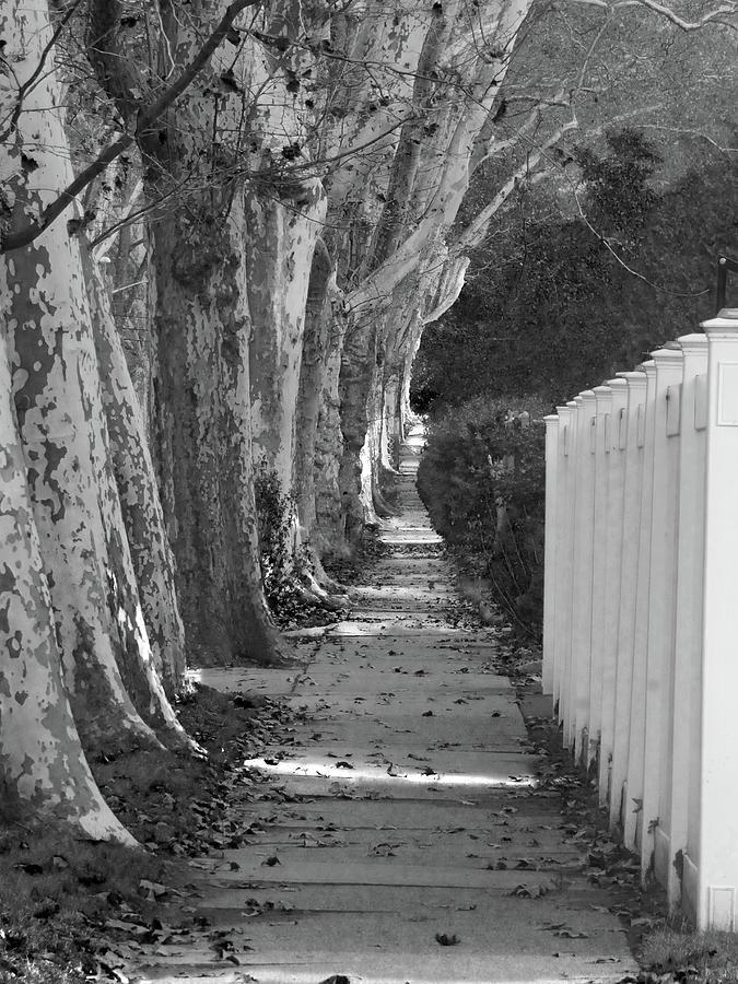 Sycamore Walk-grayscale version by Leon DeVose