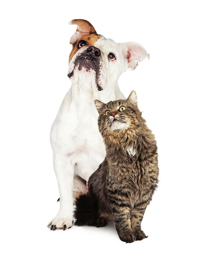 Animal Photograph - Tabby Cat And Bulldog Together Looking Up by Susan Schmitz