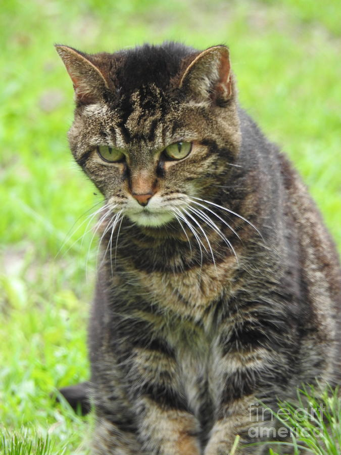 Tabby Cat  by Eunice Miller