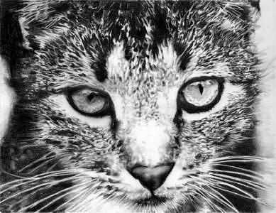 Tabby Cat Drawing by Lisandro Pena
