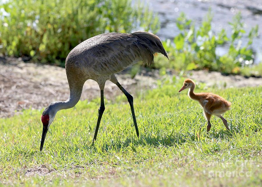Tag Along Sandhill Crane Chick by Carol Groenen