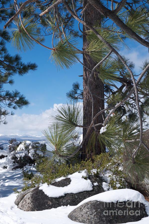 Tahoe Pines in Winter by Vinnie Oakes