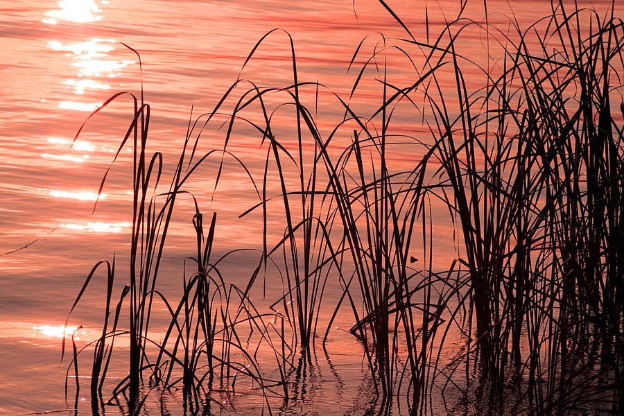 Cattails Photograph - Tails Of Twilight by Evelyn Patrick