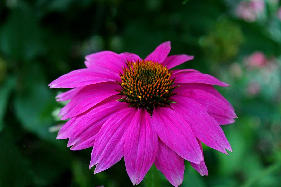 Coneflower Photograph - Tainted Love by Michiale Schneider