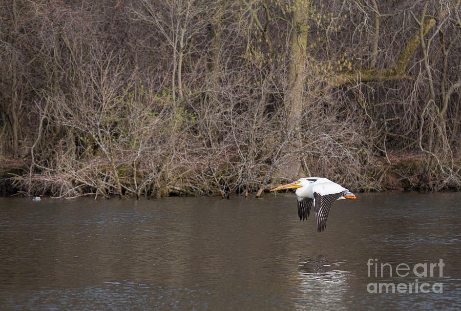 Took To Flight American White Pelican Photograph