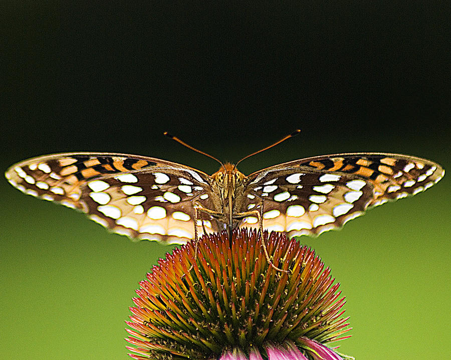 Buterfly Photograph - Takeoff by Ron Fusco