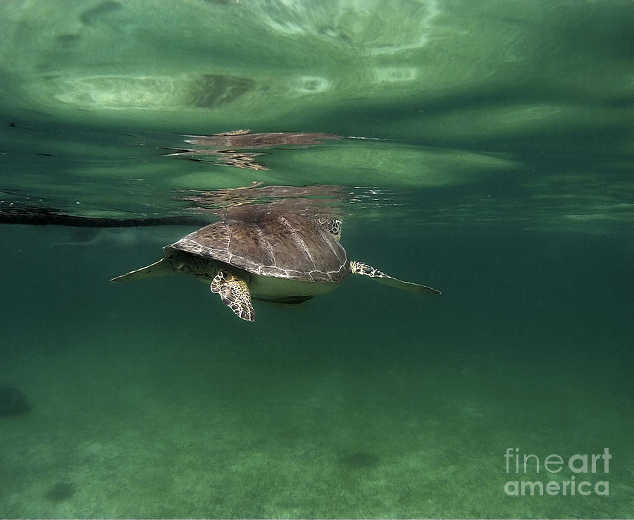 Turtle Photograph - Taking a Breather  by Francis Lavigne-Theriault