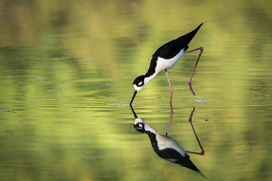 Bird Photograph - Taking a Dip by Emily Bristor