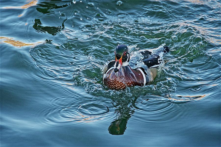 Nature Photograph - Taking a Dip, Wood Duck by Zayne Diamond Photographic