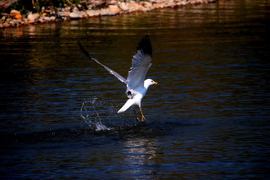 Bird Photograph - Taking Flight by Amanda Struz