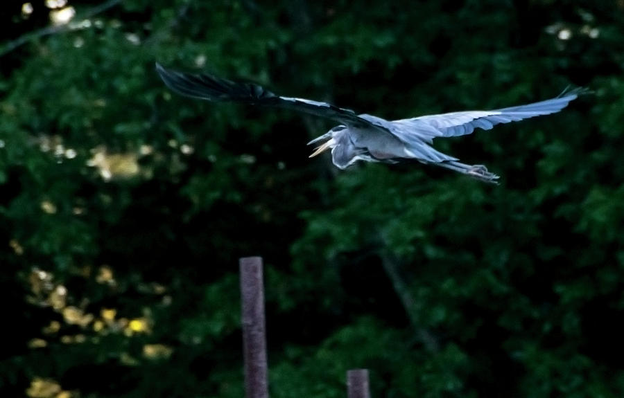 Taking Flight - Blue Heron by Tom Blizzard