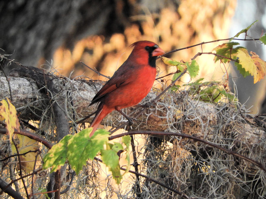 Cardinal Photograph - Taking Pictures Is No Cardinal Sin by Red Cross