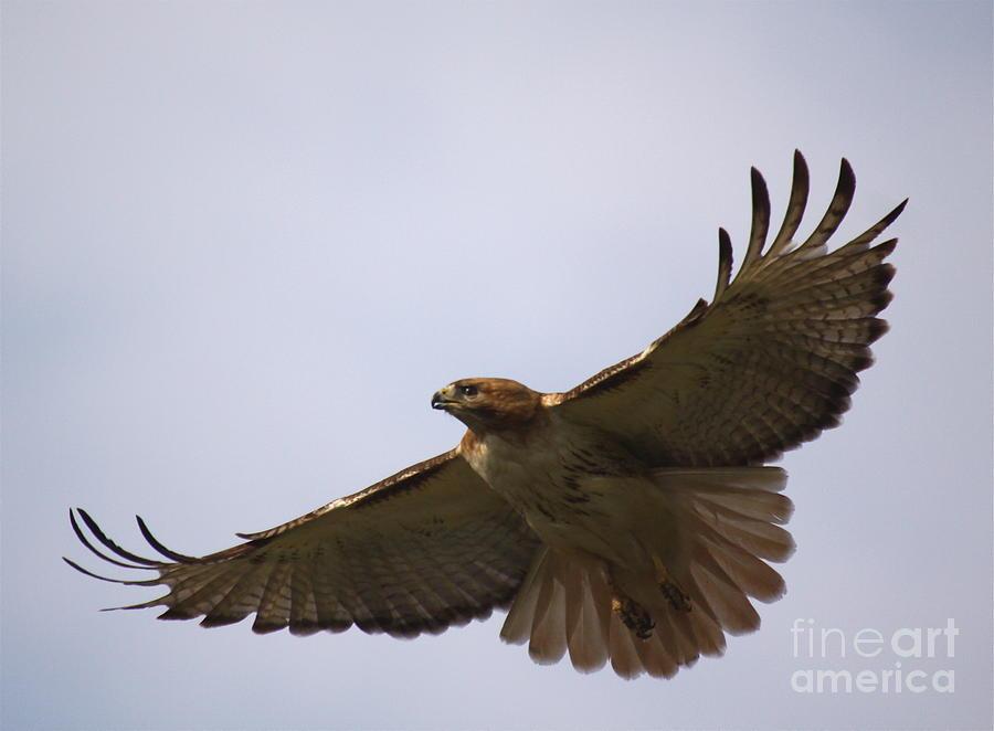Hawk Photograph - Taking Survey by Robert Pearson