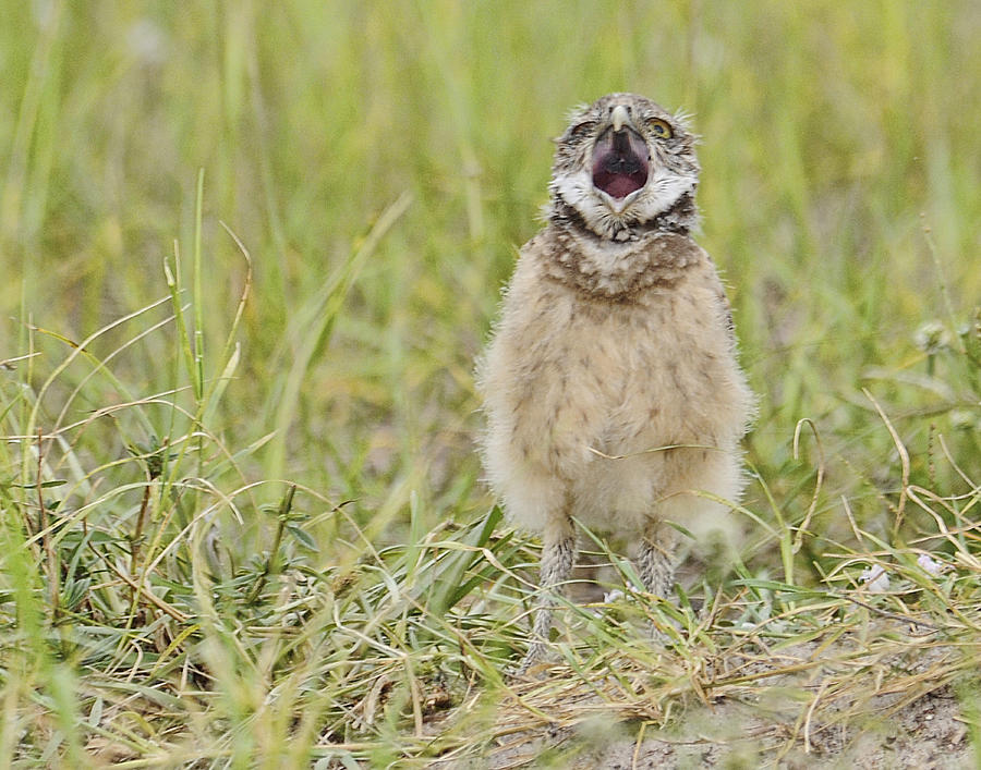 Owl Photograph - Talking Baby Burrowing Owl  by Keith Lovejoy