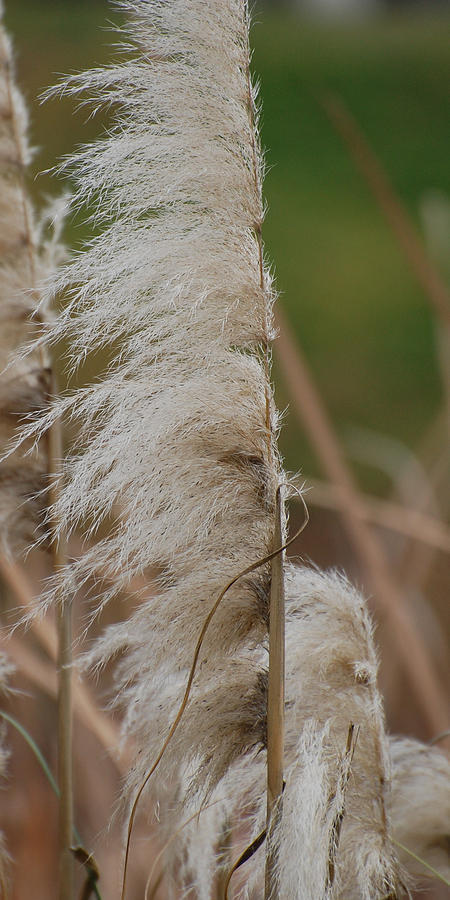 Pampas Grass Photograph - Tall And Proud by Jean Booth