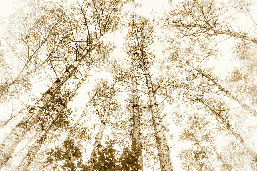 Trees Photograph - Tall Aspens by Elena Elisseeva