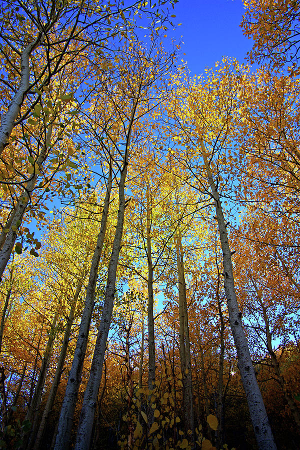 Tall Aspens by Eastern Sierra Gallery