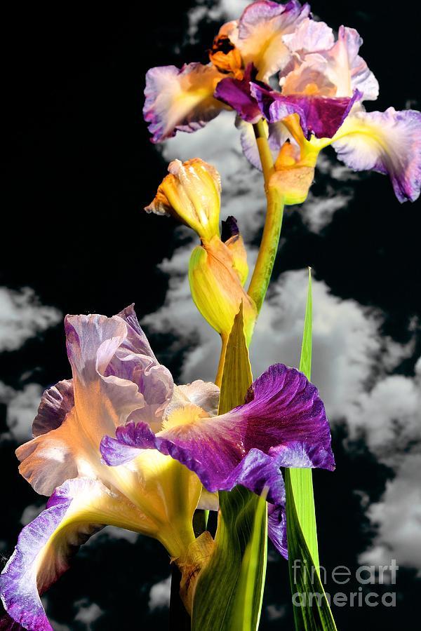 Flower Photograph - Tall Bearded Iris by DJ MacIsaac