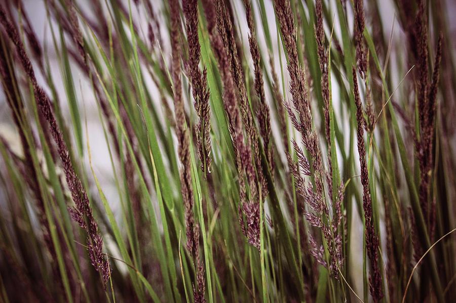 Tall Grass Photograph