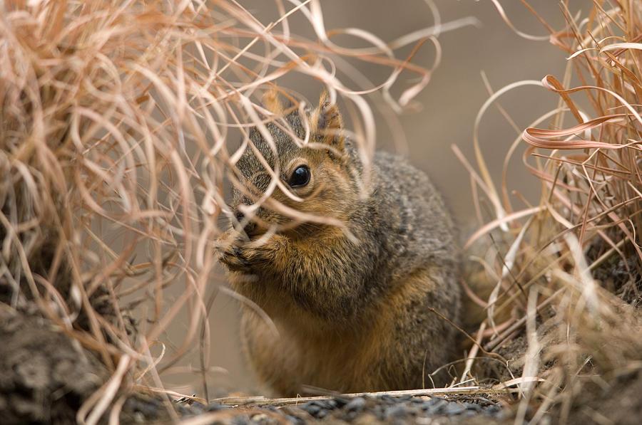Nobody Photograph - Tall Grasses Make Up A Fox Squirrels by Joel Sartore