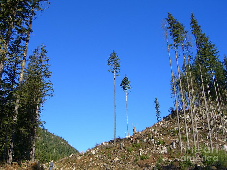 British Columbia Photograph - Tall Timbers by Jim Thomson