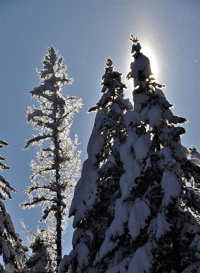 Tall trees and Tall Snow by Mike Helland