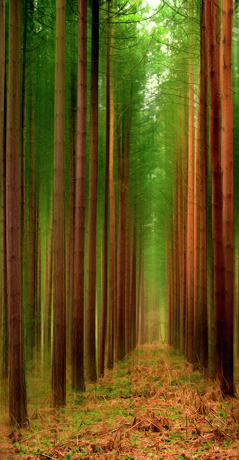 Forest Photograph - Tall Trees by Svetlana Sewell