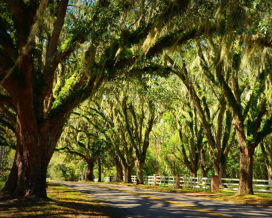 Tallahassee Photograph - Tallahassee Canopy Road by Carla Parris & Tallahassee Canopy Road Photograph by Carla Parris
