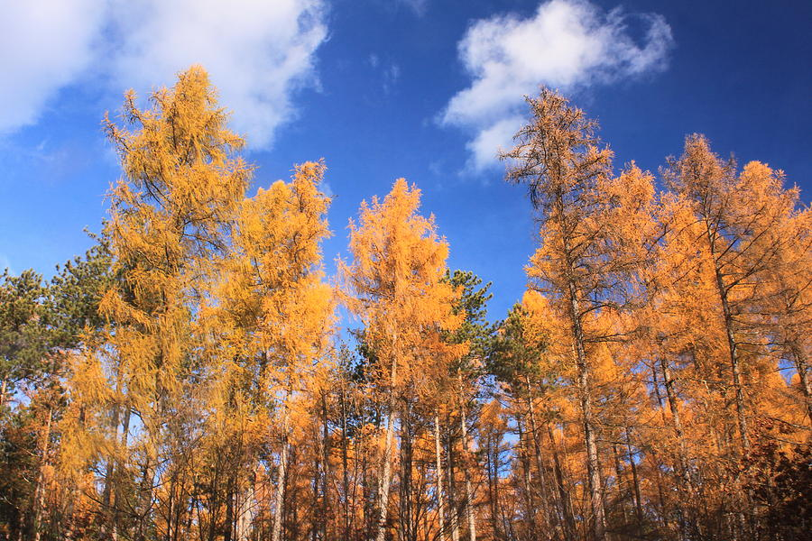 Forest Photograph - Tamarack Grove by John Burk