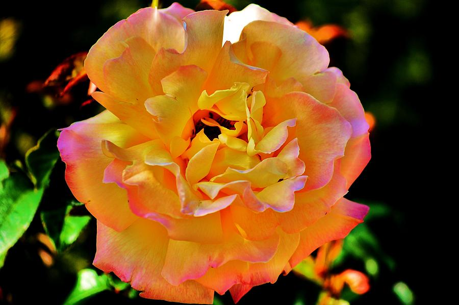 Rose Photograph - Tangerine by Helen Carson