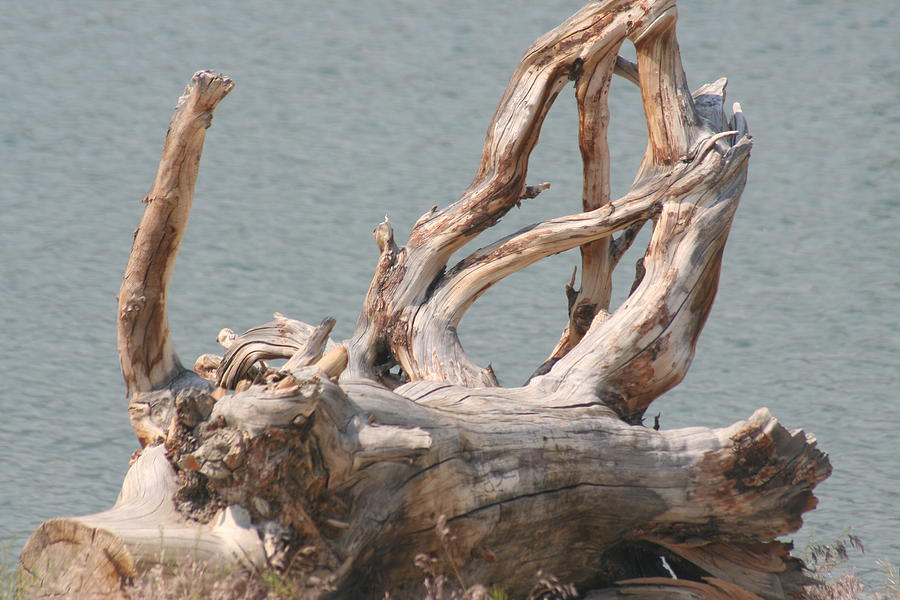 Driftwood Photograph - Tangled by Amy Holmes