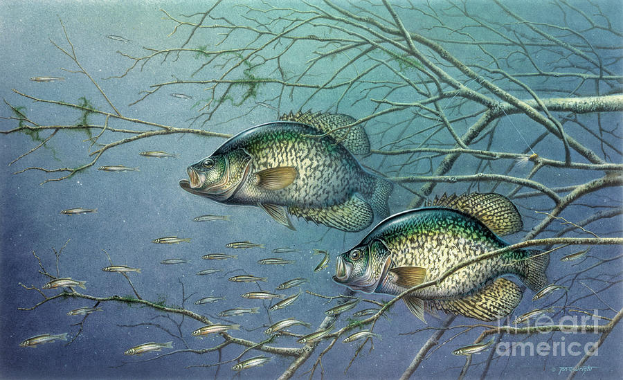 Tangled cover crappie ii painting by jq licensing for Pictures of crappie fish