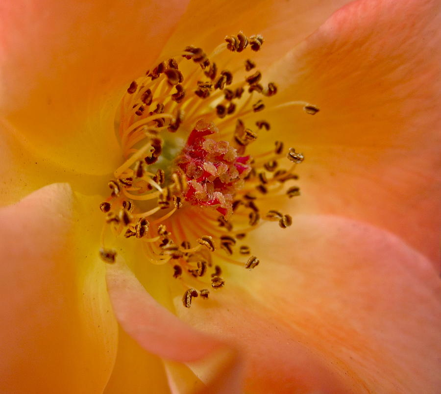 Orange Rose Photograph - Tango by Gwyn Newcombe