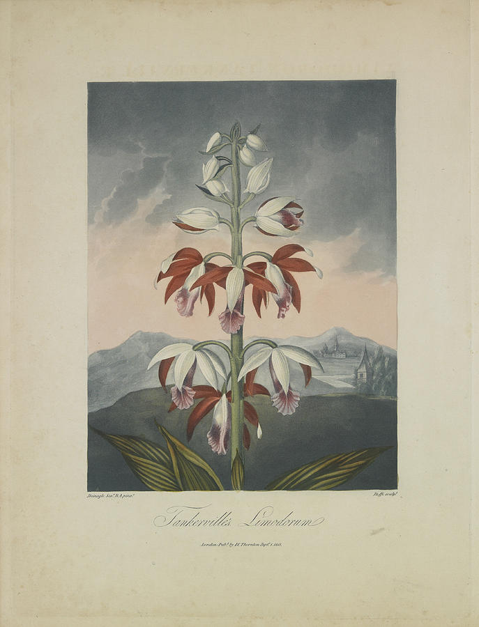 Thornton Drawing - Tankervilles Limodorum by Robert John Thornton