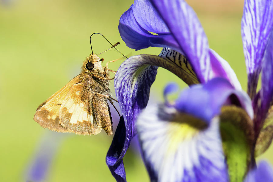 Beauty Photograph - Tan_moth by Clifford Pugliese