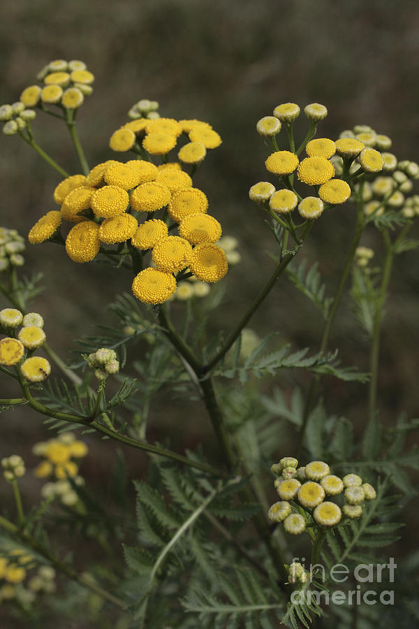 Bitter Buttons Photograph - Tansy Blossoms by William Kuta