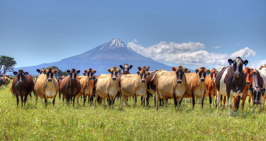 Taranaki Cows by Peter Kennett