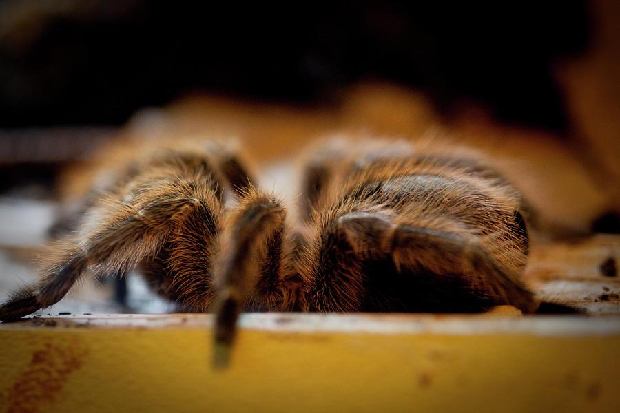 Spider Photograph - Taranchula by Christina Durity