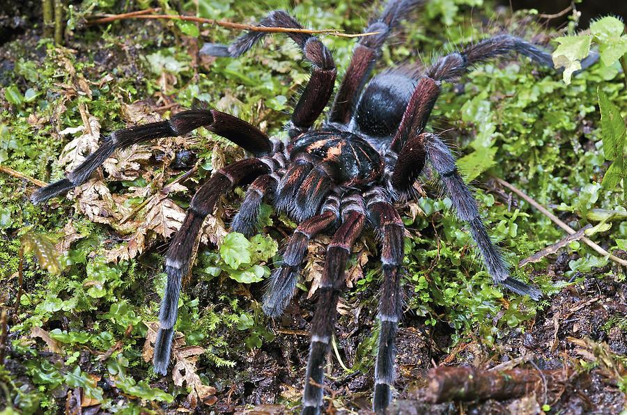 Tarantula Pamphobeteus Sp Male, Mindo Photograph by James Christensen