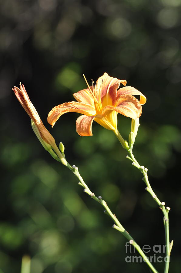 Lily Photograph - Tasmania Day Lily by Penny Neimiller