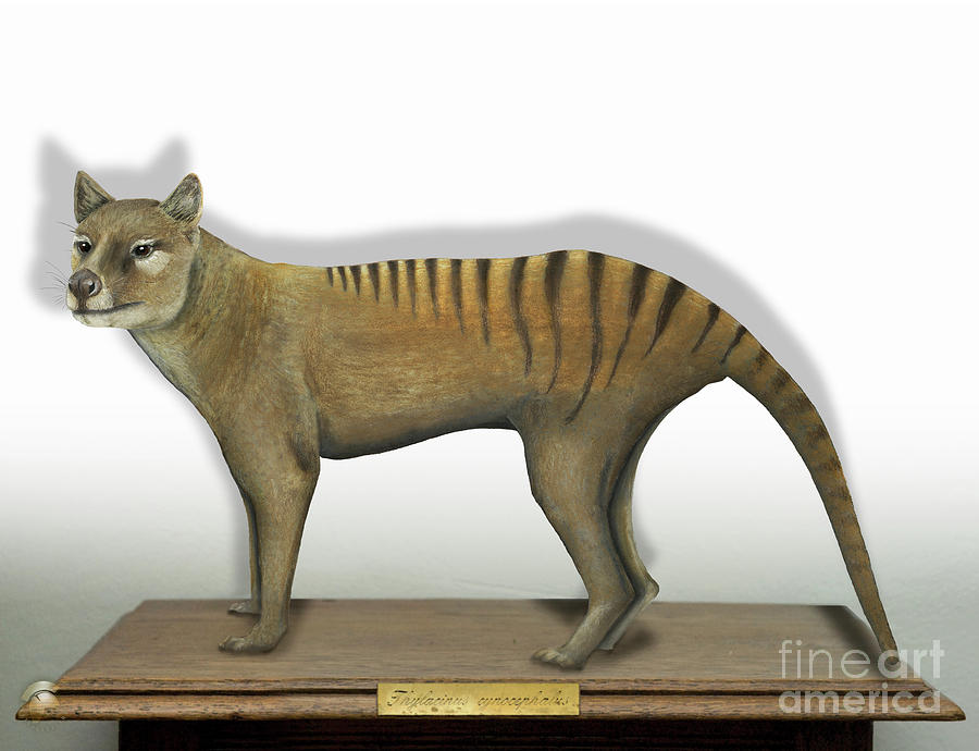 Tasmanian Tiger-thylacinus Cynocephalus-tasmanian Wolf-lobo De Tasmania-tasmanian Loup-beutelwolf Painting