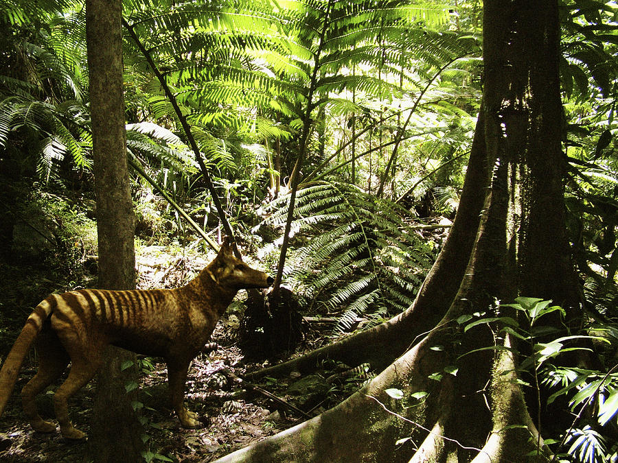 Tasmanian Tiger Photograph - Tasmanian Wolf In Forest by Christian Darkin