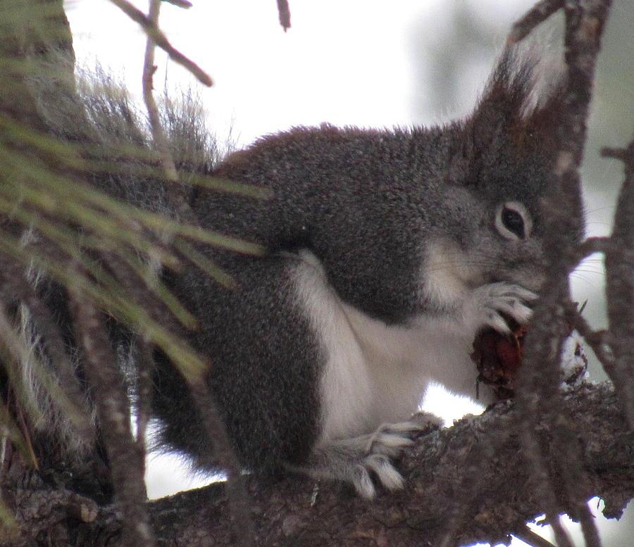 Tassel Eared Squirrel Photograph