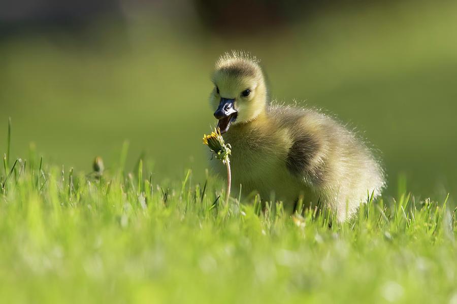 Tasty dandelion by Mircea Costina Photography