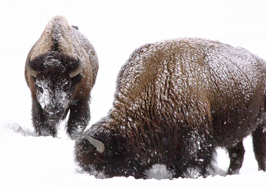 Bison Photograph - Tatanka  by Paul Malen