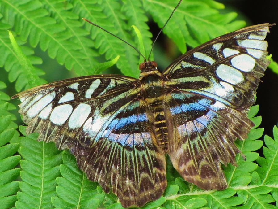Butterflies Photograph - Tattered Beauty by Lori Frisch