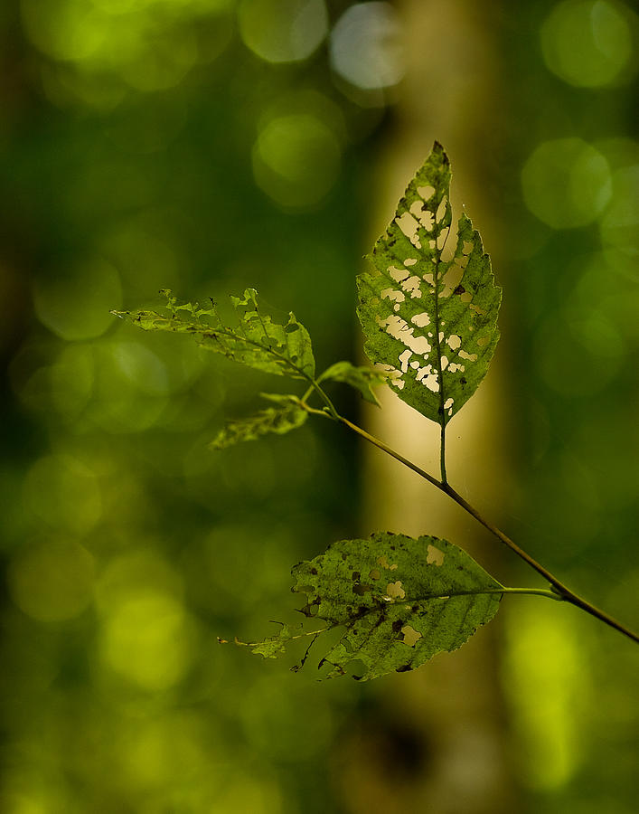 Leaf Photograph - Tattered Leaves by Mike Reid