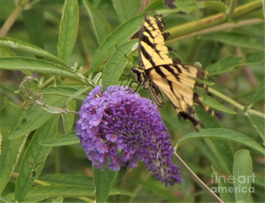 Tiger Swallowtail Photograph - Tattered Tiger Swallowtail Butterfly          August         Indiana by Rory Cubel