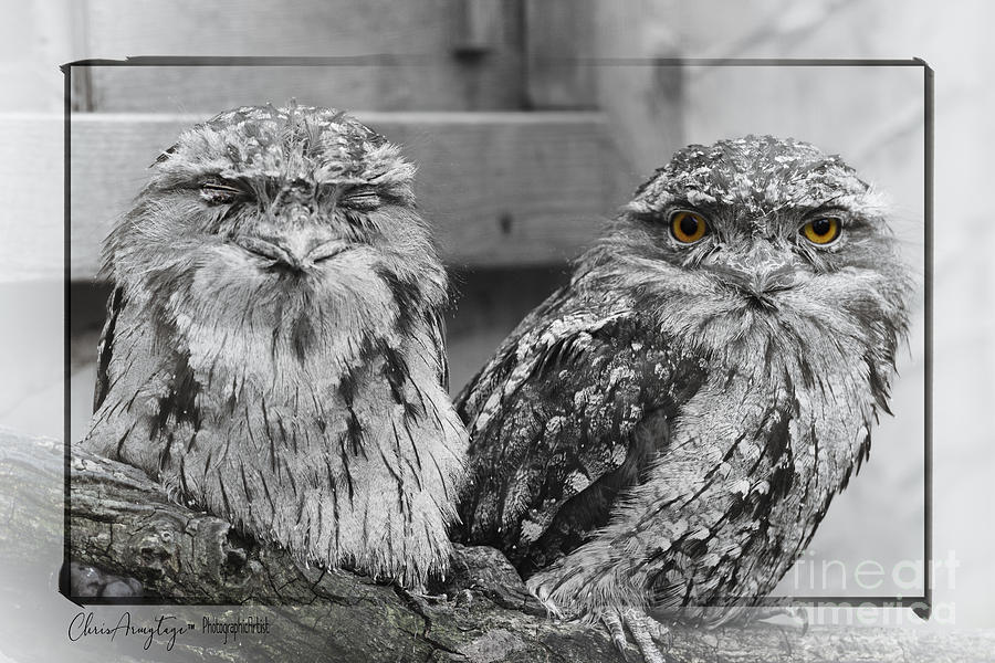Two Photograph - Tawney Frogmouths by Chris Armytage