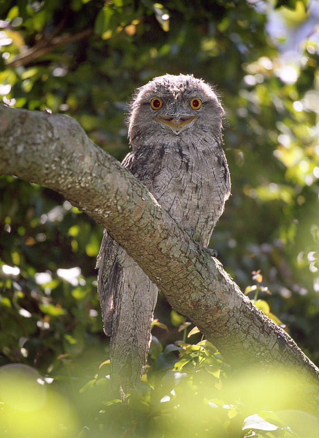 Bird Photograph - Tawny Frogmouth by Barry Culling